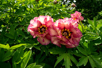 Exciting peonies